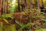 14983632-a-fallen-redwood-tree-sprouts-ferns-and-other-plant-life-as-it-slowly-decays-on-the-floor-of-a-north